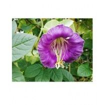Diy Store Cobaea Scandens Summer Seeds