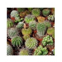 Diy Store Mix Varieties Fresh Cactus Seeds (0048)