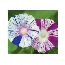Diy Store Morning Glory Arlequin Summer Seeds